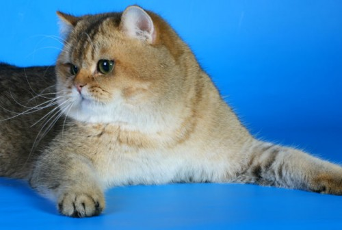 Продать котенка Gr.Int.Ch. GOLDEN SOFT'S GARFIELD