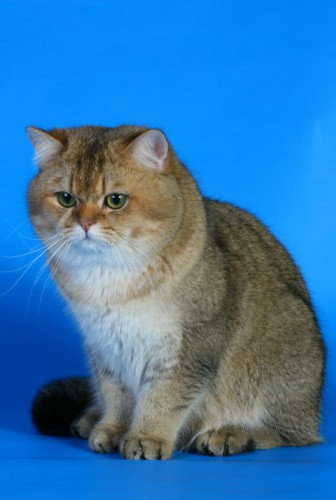 Продажа котенка Gr.Int.Ch. GOLDEN SOFT'S GARFIELD